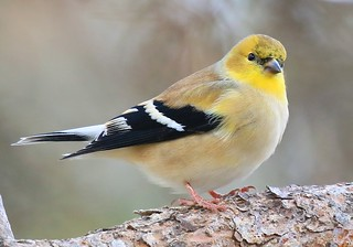 American goldfinch at Lake Meyer Park IA 854A0597