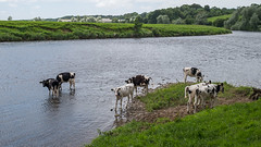 Heifers at Ribchester