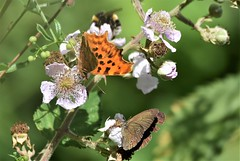 Two share. (pstone646) Tags: butterflies insects nature wildlife animals feeding pollination green flowers bokeh fauna flora kent chartham shadows