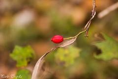 Punto rosso (paolotrapella) Tags: autunno red rosso bokeh verde natura nature