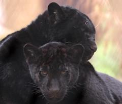 jaguar artis BB2A0011 (j.a.kok) Tags: jaguar jaguarcub jaguarwelp zwartejaguar blackjaguar artis animal zuidamerika southamerica kat cat mammal zoogdier dier predator