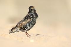 Starling on the beach (bilska.anna) Tags:
