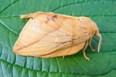 1640-P1130050 The Drinker (Euthrix potatoria) (ajmatthehiddenhouse) Tags: stmargaretsatcliffe kent uk 2017 garden moth lasiocampidae thedrinker euthrixpotatoria euthrix potatoria