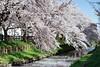 DSC01645 (維尼賈許) Tags: 2017tokyotrip a7m2 day6 japan zeissbatis1885 埼玉県 川越市 kawagoeshi saitamaken 日本 jp