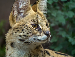 Serval (Amazing Aperture Photography) Tags: feline wild wildlife nature bigcat serval smallcheetah wolfdeer mammal carnivore predator fast pretty beautiful sony portrait eyes ears face fur whiskers