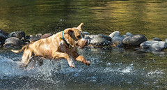 Splash (docoverachiever) Tags: action mazama pet water dog pitbull splash run river play animal