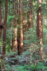 Sequoia Solitude (IndyMcDuff (Bellifemine Studios)) Tags: yosemite forest nationalpark sequoias muir woods tonemapped 5bracket redwoods giant muirwoods