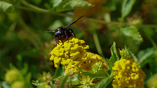 Monster bee on a flower