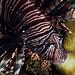 JRR_2385 - Lionfish