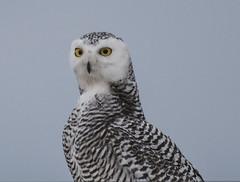 Snowy Owl (Nyctea scandiaca) (mesquakie8) Tags: bird owl sittingontopofacontainer stretchingforabetterview juvenilefemale snowyowl nycteascandiaca snow coastguardcompound milwaukee milwaukeecounty wisconsin 5219