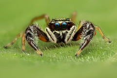 Jumping spider (embebu) Tags: jump jumping jumpingspider stacking stacker handed nhện nhảy nhệnnhảy