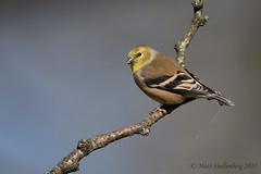 American Goldfinch (Matt Shellenberg) Tags: american goldfinch americangoldfinch yellow
