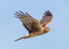 Lady Harrier patrolling (tresed47) Tags: 2017 201711nov 20171114bombayhookbirds birds bombayhook canon7d content delaware fall folder harrier northernharrier november peterscamera petersphotos places season takenby us