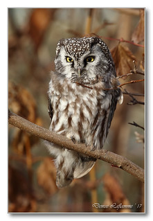 103A9152-DL   Nyctale de Tengmalm / Boreal Owl