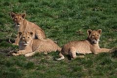 Lion cubs @ Wildlands Adventure Zoo Emmen 11-03-2017 (Maxime de Boer) Tags: african lion lioness cub afrikaanse leeuw leeuwin welpje leeuwenwelpje wildlands adventure zoo emmen animals dieren dierentuin gods creation schepping genesis