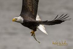 Fly By... (ThruKurtsLens.com) Tags: 2017 baldeagle eagle fallcolors fish flying kurtwecker nature naturephotographer talons thrukurtslenscom wildlifephotographer wildlifephotography