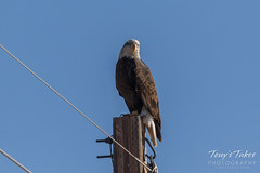 Young Bald Eagle hanging out