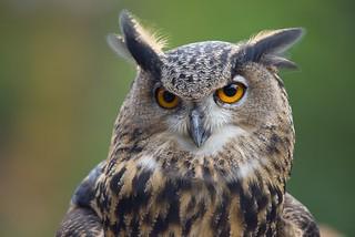 Eurasian Eagle Owl - Dallas Zoo