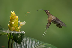 Long-billed Hermit (Phaethornis longirostris) fighting a bee (Chris Jimenez - Take Me To The Wild) Tags: action longbilledhermit twoanimals flower chrisjimenez tropics leastconcern inflight lowland hummer colibrie foraging phaethornislongirostris colibri feeding heliconia costarica bird fly sideview insect hummingbird oneanimal tropical fulllength