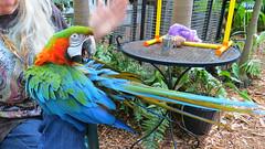 Key West (Florida) Trip 2016 2715Ri 9x16 (edgarandron - Busy!) Tags: florida keys floridakeys keywest bird birds macaw macaws nancyforrester nancyforresterssecretgarden secretgarden
