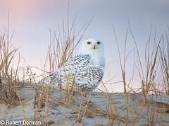 Snowy Owl (Bubo Scandiacus) (tavarez.niurka) Tags: snowy owl bubo scandiacus lechuza buho gufo fukaro chouette coruja eule buma predator hedwig harry potter new jersey dune shorebirds bird raptor eyes hooter white