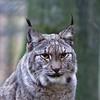Luchs (c4harry) Tags: chattengau edersee luchs tiere wildtierpark