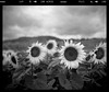 Cliché sunflower bee (Erik Tjernlund) Tags: acros acros100 aubonne bougyvillars enjoyfilm fechy flowers fuji fujineopanacros100 gnd ibelieveinfilm ishootfilm mamiya mamiya7 mamiya7ii neopan signaldebougy sunflowers switzerland vaud yellowfilter ch