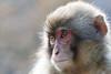 Japanese macaque (haduki99) Tags: macaque animal monkey japan japanesemacaque