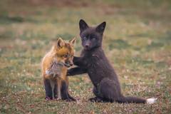 Wanna Play? (~ Bob ~) Tags: tamron fox nikon baby nature d500 den kit sanjuanisland feisol mammal washingtonstate wildlife