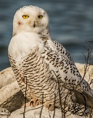 """Jeepers Creepers . . . (Dr. Farnsworth) Tags: bird snowyowl snowy owl large feathers blood stains eyes yellow scared muskegon mi michigan fall december2017"