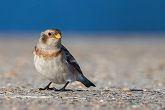 Snow Bunting (Simon Stobart) Tags: snow bunting plectrophenax nivalis pier ground watching sea sky northeastengland coth5 ngc npc