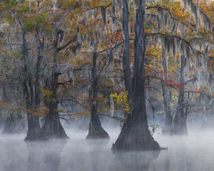 Bayou Beauty (D Breezy - davidthompsonphotography.com) Tags: swamps trees cypress south southern capes nikon d800e travel kayak paddle fog misty beautiful reflections fall autumn color reds golds yellows mystery enchanting spanish moss