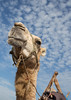 Sultan the Camel (ToriAndrewsPhotography) Tags: camel portrait low pov essaouira morocco yassin photography andrews tori beach sea sand