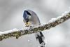 Blue Jay Eating-44460.jpg (Mully410 * Images) Tags: jay bluejay birding branch winter backyard peanut bird birds snacking birdwatching cold nut birder snow
