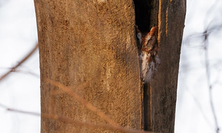 Eastern Screech-Owl by Steve Gifford