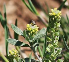 Plants_OB_361 (NRCS Montana) Tags: alyssum alyssoides pale madwort plants
