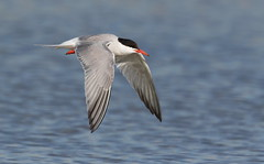 Common Tern Nickerson beach ny. (mandokid1) Tags: canon 1dx ef400mmdoii birds terns nickerson