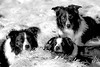 The Contented Bunch (JJFET) Tags: border collie pack mist paddy elk dog sheepdog sheep herding