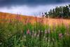 Fleurs des champs (delphine imbert) Tags: vercors nature champs fleurs couleurs botanique
