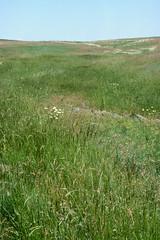 Weeds40.tif (NRCS Montana) Tags: weeds noxious grasses grassland