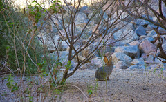 Hare at dawn (PierTom) Tags: scottsdale