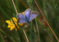 COMMON BLUE F 120717 (gazza294) Tags: butterfly butterflies commonblue flicker flickr flckr flkr gazza294 garymargetts butterflyconservation