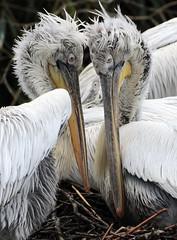 dalmatian pelican Blijdorp BB2A6386 (j.a.kok) Tags: pelikaan pelican kroeskoppelikaan dalmationpelican vogel pelikaankuiken kuiken pelicanchick bird blijdorp