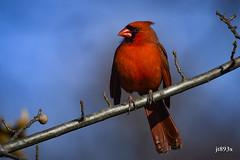 Northern Cardinal (jt893x) Tags: 150600mm bird cardinal cardinaliscardinalis d500 jt893x male nikon nikond500 northerncardinal sigma sigma150600mmf563dgoshsms songbird coth5