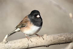 Dark-eyed Junco, Junco hyemalis (jlcummins - Washington State) Tags: bird wildlife washingtonstate yakimacounty darkeyedjunco oregonjunco sparrowpatch yakimaareaarboretum juncohyemalis