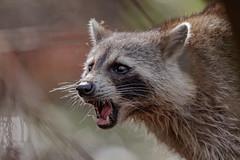 Racoon (wn_j) Tags: nature naturephotography wildlife wildanimals wildlifephotography canon canon500mm canon1dxii corkscrewswamp corkscrewswampsanctuary floridawildlife racoon