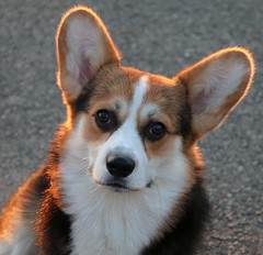 Corgi (Dragan*) Tags: dog animal pet corgi welshcorgi portrait eyes light outdoor nature