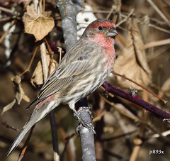 House Finch (jt893x) Tags: 150600mm bird d500 finch haemorhousmexicanus housefinch jt893x male nikon nikond500 sigma sigma150600mmf563dgoshsms thesunshinegroup coth alittlebeauty coth5 sunrays5