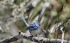 Blue in Style (OM-Digital) Tags: vic melbournebirder australianbirder melbourne australia omd em111 300mm olympus camera photo hattah lakes nest family hattahkulkynenationalpark 2017 mft m43 handheld 5axis is camping parksvictoria wild splendidfairywren malurussplendens wildlife conservation biology ecology science animal behaviour study learning caring kindness friendly