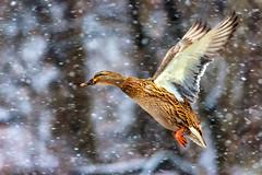 female flyby (david_sharo) Tags: nature wildlife ducks flight snow southpark pennsylvania